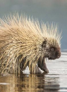 Interesting Porcupine Facts | Fact Animal