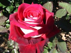 How to Plant Osiria Roses in Your Garden