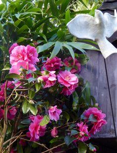 Camellia and dovecote