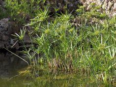 Cyperus.papyrus