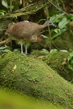 Great Tinamou (Tinamus major) perched on the ground