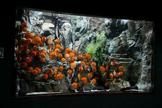 Diskus Aquarium, Aquarium Design, Discus Tank, Discus Fish, Unique Fish Tanks, Oscar Fish, Pets 3, Aquascaping, Underwater World