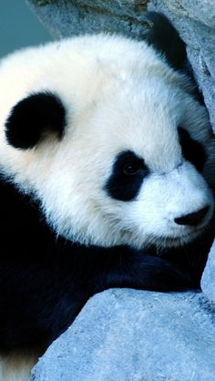http://www.gofundme.com/370lck go donate now! Save the pandas!!!!!!!!!!!!!!