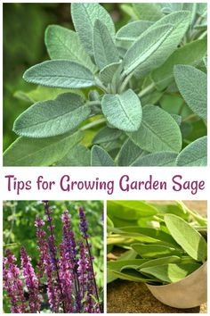 Sage Plant Care – Tips for Growing Garden Sage - Garden Sage Herb, Sage Plant, Flowers Garden, Garden Plants, Planting Flowers, Herb Plants, Growing Gardens, Growing Plants, Sage Garden