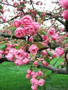 Un arbre de roses, oui