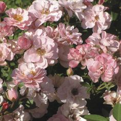 Monrovia's Sunrosa™ Soft Pink Shrub Rose details and information. Learn more about Monrovia plants and best practices for best possible plant performance. Sun Plants, Garden Plants, House Plants, Garden Roses, Storybook Gardens, Monrovia Plants, Shrub Roses, Plant Catalogs, Flowering Shrubs