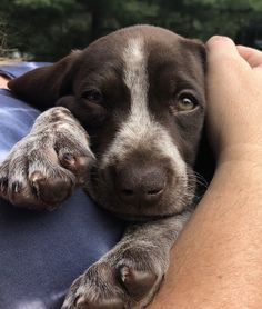 Cute Baby Dogs, Cute Dogs And Puppies, Cute Baby Animals, I Love Dogs, Animals And Pets, Doggies, Gsp Puppies, Baby Puppies, Cute Creatures