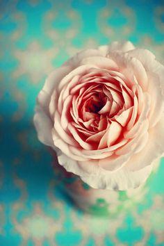 rose:: cM