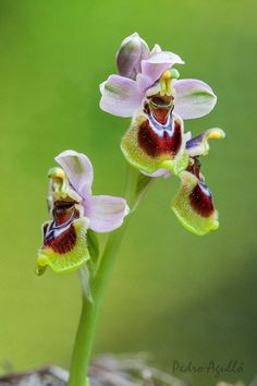 Saw-fly-orchid: Ophrys tenthredinifera - Flickr - Photo Sharing!