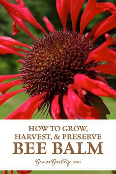How to Grow, Harvest, and Preserve Bee Balm (Monarda) Bee balm (Monarda) is a popular perennial plant used in bee and butterfly gardens. Bee balm is a native plant and also has a long history of medicinal uses. Growing Herbs, Growing Flowers, Planting Flowers, Flowering Plants, Flower Gardening, Bee Balm Flower, Bee Balm Plant, Medicinal Plants, Gardens