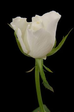 Eskimo white sweetheart rose, 20 stems/bunch, $16.80/bunch, 84 cents/stem