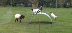 Un vidéo des chèvres qui font de la balançoire sur une tôle de fer