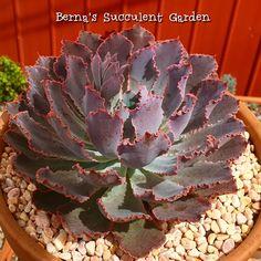 Echeveria, Neon, Succulents Garden, Cactus, Instagram, Plants, Neon Colors, Cactus Plants, Planters