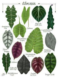 Plante Alocasia, Alocasia Plant, Leave In, Vegetable Illustration, Plant Illustration, Decoration Plante, Calathea, Tropical Leaves, Tropical House Plants