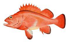 Rockfish (Sebates aleutianus)
