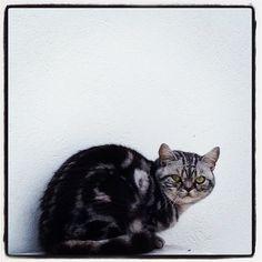 Jethro  #salatino #clubesalatino #gato #cat #cats #pet #ilovemypet #petstagram #animalplanet #bestphotos #ilovemypet #bsh #british #britishshorthair #lovecats #ilovemycat #catstagram #instacats