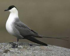 Long-tailed Jaeger (Stercorarius longicaudus), known as the long-tailed skua outside the Americas, is a seabird in the skua family Stercorariidae. This species breeds in the high Arctic of Eurasia & North America, with major populations in Russia, Alaska & Canada & smaller populations around the rest of the Arctic. It is a migrant, wintering in the south Atlantic and Pacific.