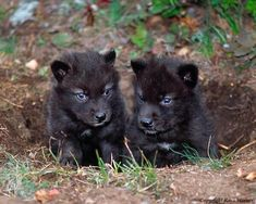 Two black wolf pups with blue eyes. Black wolves are endangered.
