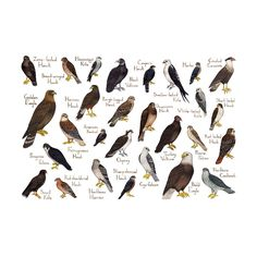 This watercolor painting features raptors (hawks, falcons, vultures, etc.) of North America as a field guide classification chart. It features the following 28 birds: American Kestrel Bald Eagle Black