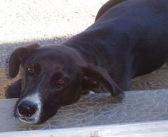 Adopter Moyen chien Senior - Galgos France - Sarthe - Chien croisé moyenne race - SecondeChance.org