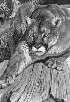 Realistic Drawings This picture looks like it is a photograph taken by a camera placed in front of it. At first glance, I thought it was a black and white photo but it is actually a realistic drawing. Wildlife Paintings, Wildlife Art, Animal Drawings, Art Drawings, 3d Pencil Drawings, Mountain Lion, Realistic Drawings, Big Cats, Drawing Sketches