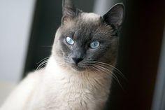 Thajská Mačka, Mačka, Modré Oči, Pet