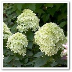 Limelight Hydrangea. Similar to a lilac. Partial shade to full sun. Turns PINK in the fall.