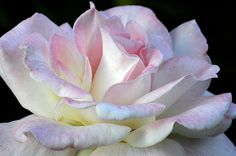 I want one of these in my garden!! Pink Cotton Candy - the most beautiful #rose by Wanda Brandon at http://fineartamerica.com/featured/pink-cotton-candy-wanda-brandon.html#comment10741976