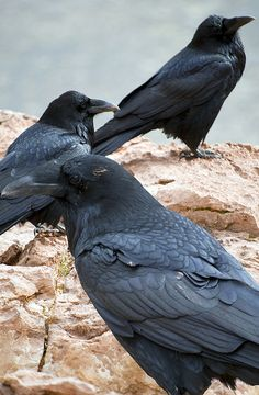 "What a CAW-Some Trio!! ""Ravens in the Canyon"" by Candace Van Assche"