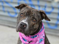 TO BE DESTROYED - 11/12/14 Brooklyn Center -P ***NEW PHOTO***  My name is TIGRESS. My Animal ID # is A1019411. I am a spayed female black and white pit bull mix. The shelter thinks I am about 1 YEAR   **$150 DONATION to the NEW HOPE rescue that pulls!!**   I came in the shelter as a OWNER SUR on 11/01/2014 from NY 11208, owner surrender reason stated was MOVE2PRIVA.
