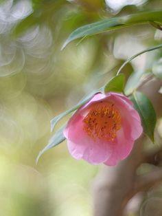 Camellia japonica 'Tôbôsaku' (Japan, by 1972)