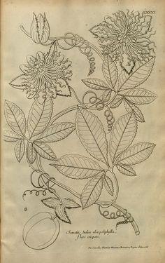 Description des plantes de l'Amerique :. A Paris, :De l'Imprimerie Royale,M.DC.CXIII [i.e. 1693].. biodiversitylibrary.org/page/2919292