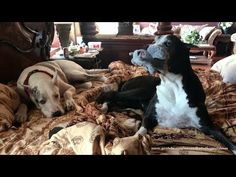 Funny Lazy Great Danes Play With Squirrel Toy in Bed - YouTube