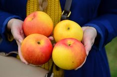Bolile, dăunătorii, produsele pentru tratamente și lucrările importante la MĂR, pentru stadiile cheie din cursulunui an vegetativ. Peach, Joy, Glee, Peaches, Being Happy, Happiness