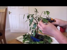 (50) Pruning And Defoliating A Ficus Bonsai - YouTube