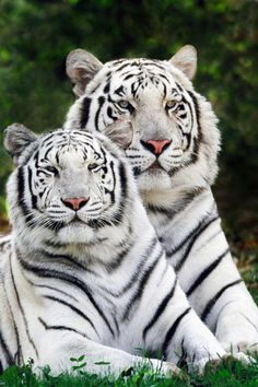The freshly launched compilation of tiger two albino animals beautiful hd new wallpapers The Animals, Unusual Animals, Nature Animals, Wild Animals, Animals Images, Exotic Animals, Baby Animals, Majestic Animals, Cutest Animals