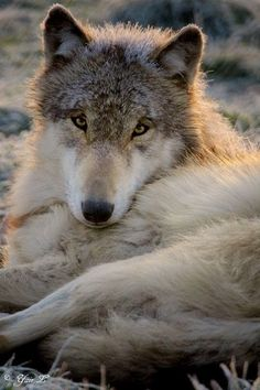 wolf in a frosty morning FROST 2 Beautiful Creatures, Animals Beautiful, Cute Animals, Husky, Wolf Spirit, Spirit Animal, Wolf Pictures, Animal Pictures, Tier Wolf