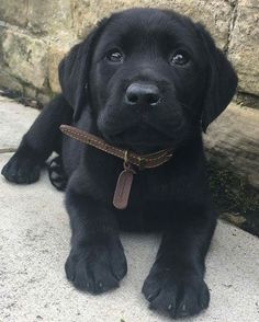 Mind Blowing Facts About Labrador Retrievers And Ideas. Amazing Facts About Labrador Retrievers And Ideas. Black Lab Puppies, Cute Puppies, Cute Dogs, Dogs And Puppies, Black Puppy, Corgi Puppies, Black Labs Dogs, Pomeranian Puppy, Beautiful Dogs
