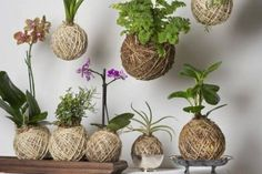 Bottom row: l-r Tiger orchid, Herb Kokedama includes Rosemary & Snapdragon, Mini Purple Phalaenopsis Orchid, Aloe Vera & Baby Rubber Plant. Hanging Orchid, Diy Hanging, Hanging Plants, Succulents Garden, Garden Plants, House Plants, Planting Flowers, Ikebana, Air Plants