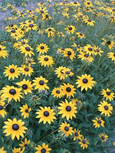 """Rudbeckia Fulgida - 20"""" tall; winter interest; deer resistant; beneficial for pollinators; Think 'Goldsturm' with longer flowering season. Mid-July into October! A bit shorter and more compact. Rudbeckia Fulgida are vigorously flowering yellow daisies with brown eyes. Rich green foilage makes this a superb cut flower. Makes a beautiful mass planting. Combines well with ornamental grasses."""