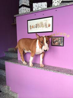 Dante #bullterrier #bullo #dog #purple #live #love #bully