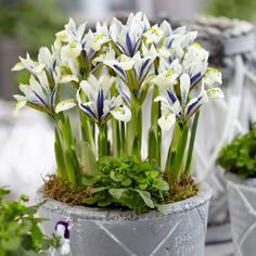 Shop online in the UK for Iris Reticulata Eye Catcher. The colouring of this Iris is reallly striking and will creat a stunning display planted in borders, rockeries or patio containers. This easy to grow Dwarf Iris grows to a compact height of just Beautiful Flowers, Flower Pots, Iris Reticulata, Bulb Flowers, Plants, Unusual Flowers, Flowers, Floristry, Dutch Iris