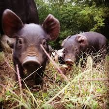 sitting pigs - Google Search