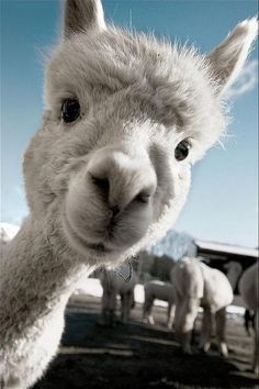 An alpaca (Vicugna pacos) is a domesticated species of South American camelid. It resembles a small llama in appearance.
