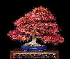 bonsai japones - Buscar con Google