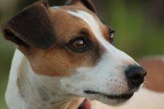 Jack Russell Terrier, perros más bonitos del mundo