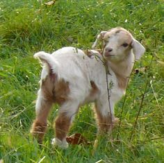 Fainting goats... oh my goodness, how precious!  I want one!!