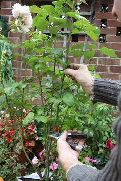 Roses in Spuds - Taking rose cuttings DIY: We show you how to take rose cuttings - plus how to grow roses in potatoes. Propagating roses by cuttings is easy, and it brings certain side benefits . Rose Cuttings, Plant Cuttings, Rose Propagation, Growing Roses, Growing Plants, Plantar Rosales, Roses In Potatoes, Jardin Decor, Rose Bush