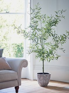 10 Most Popular Indoor Trees To Grow & How to For Beginners – Pastel Dwelling - Modern Indoor Olive Tree, Indoor Tree Plants, Best Indoor Trees, Potted Olive Tree, Potted Trees, Trees To Plant, Faux Olive Tree, Eucalyptus Plant Indoor, Trees In Pots