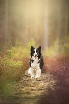 Most current Cost-Free Border Collies chiot Popular The Edge Collie hails from the borderlands with Great britain as well as Scotland (hence your name! Perros Border Collie, Border Collie Puppies, Collie Dog, Beautiful Dogs, Animals Beautiful, Cute Animals, Beautiful Pictures, Border Collie Pictures, Golden Retriever